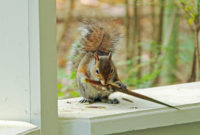 7 Humane Ways To Get Squirrels Out Of Your House within size 2122 X 1415