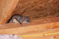 Flying Squirrels In Your Attic 770 560 4679 Webbcon Pest throughout size 2931 X 2316
