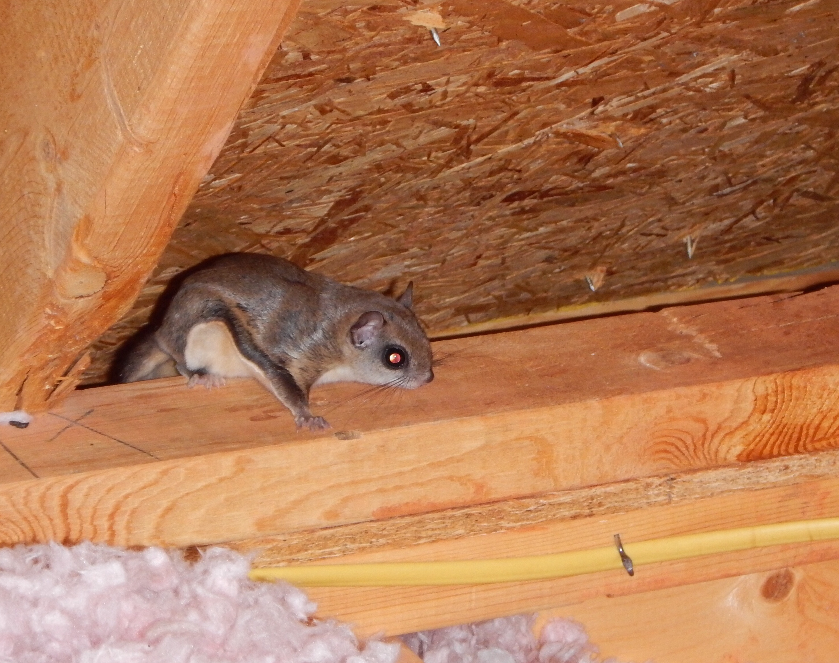 Flying Squirrel Attic Noise Attic Ideas