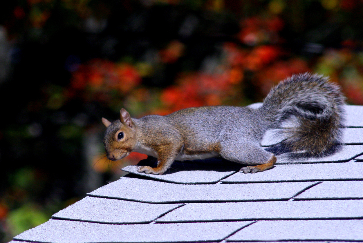 Squirrel Control And Removal Methods For The Home Yard And Garden with sizing 1251 X 838